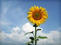 против солнцецветов голубого неба Стоковое Изображение