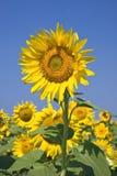 против солнцецветов голубого неба стоковые фотографии rf
