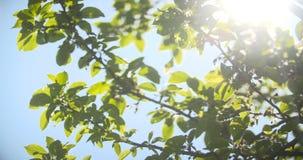 против солнца утра листьев видеоматериал