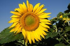против солнцецвета неба Стоковое Фото