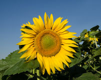 против солнцецвета неба Стоковая Фотография
