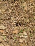 против стены плюща каменной Стоковое фото RF