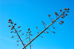 против столетника также как голубым succulent неба завода столетия известный цветком Стоковая Фотография RF