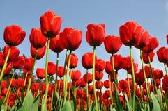 против тюльпанов неба голубого красного цвета предпосылки Стоковые Изображения
