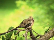 против холодного dove fluffed оплакивать вверх по ветру Стоковая Фотография