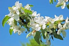 против яблока синь цветет небо Стоковые Фотографии RF