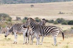 Протирка - зебра Burchell Стоковые Фото