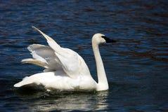 протягивать крыла трубача лебедя Стоковые Фотографии RF