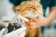 Профессиональный отрезок ветеринаров царапает крупный план кота Стоковая Фотография RF