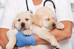 Профессионал здравоохранения женщины ветеринарный держа 2 щенят стоковые фотографии rf