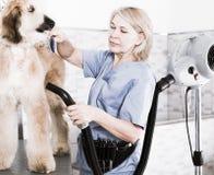 Профессионал парикмахера сушит волосы афганской борзой меха собаки фена стоковые фото