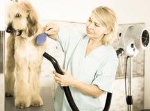 Профессионал парикмахера сушит волосы афганской борзой меха собаки фена Стоковые Фотографии RF