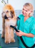 Профессионал парикмахера сушит волосы афганской борзой меха собаки фена Стоковые Изображения RF