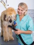 Профессионал парикмахера сушит волосы афганской борзой меха собаки фена стоковое фото