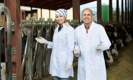 Профессиональные работники в белой мантии позаботить о молочное стадо Стоковая Фотография