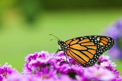 Профиль бабочки монарха Стоковая Фотография RF
