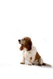 профиль гончей собаки basset Стоковое Фото