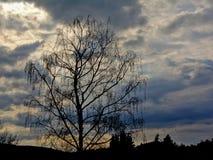 Профиль дерева wilow против пасмурного неба вечера Стоковая Фотография