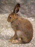 профиль зайцев Стоковые Изображения RF