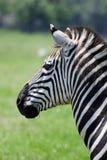 Профиль зебры Стоковые Фотографии RF