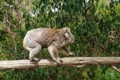 Профиль идя коалы на деревянном поляке в центре консервации коалы в Cowes, острове Филиппа, Виктории, Австралии Стоковые Изображения RF