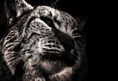 профиль кота одичалый стоковые фотографии rf