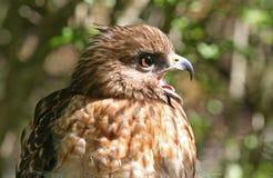 Профиль красного взваленного хищника хоука Стоковое фото RF