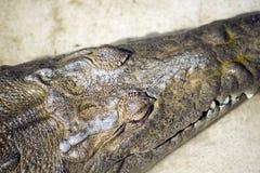 Профиль крокодила стоковые изображения rf