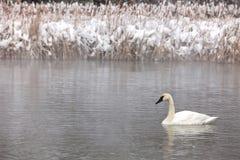 Профиль лебедя трубача Стоковые Фото