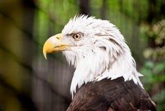 профиль облыселого орла Стоковые Изображения RF
