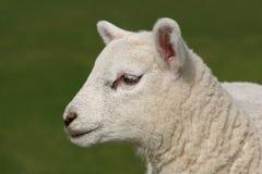 Профиль овечки стоковое изображение