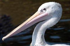 профиль пеликана Стоковое Изображение RF