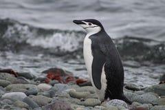 Профиль пингвина chinstrap в Антарктике Стоковая Фотография RF