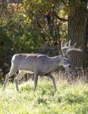 Профиль самца оленя Whitetail стоковая фотография rf