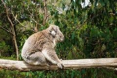 Профиль сидя коалы на деревянном поляке в центре консервации коалы в Cowes, острове Филиппа, Виктории, Австралии Стоковое фото RF