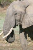 профиль слона стоковые изображения