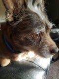 Профиль собаки Брайна Стоковые Изображения RF