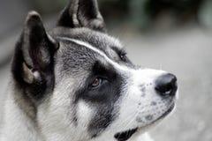 Профиль собаки akita стоковое изображение rf