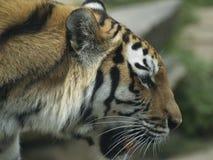 Профиль тигра с ртом открытым Стоковое фото RF