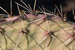 Профиль шиповатой груши в пустыне юго-западной Стоковые Изображения