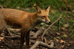 Профиль Fox Стоковая Фотография