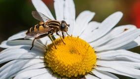 Профиль Hoverfly Стоковые Фото