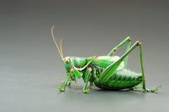 профиль katydid Стоковая Фотография RF