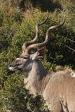 профиль kudu быка Стоковые Фотографии RF