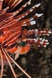 профиль lionfish Стоковое фото RF