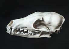 Профилируйте отбеленный череп лож животных лисы на черной, текстурированной, кожаной поверхности Стоковое Изображение RF