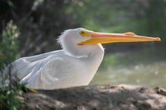 Профиль американского пеликана Стоковые Фото
