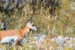 Профиль антилопы Pronghorn Стоковое Изображение