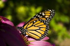 Профиль бабочки монарха на конце крайности цветка эхинацеи вверх Стоковая Фотография