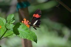 Профиль бабочки почтальона на милом цветке Стоковая Фотография